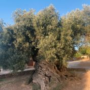 Culture Rooted in Nature: Trees as Cultural Heritage