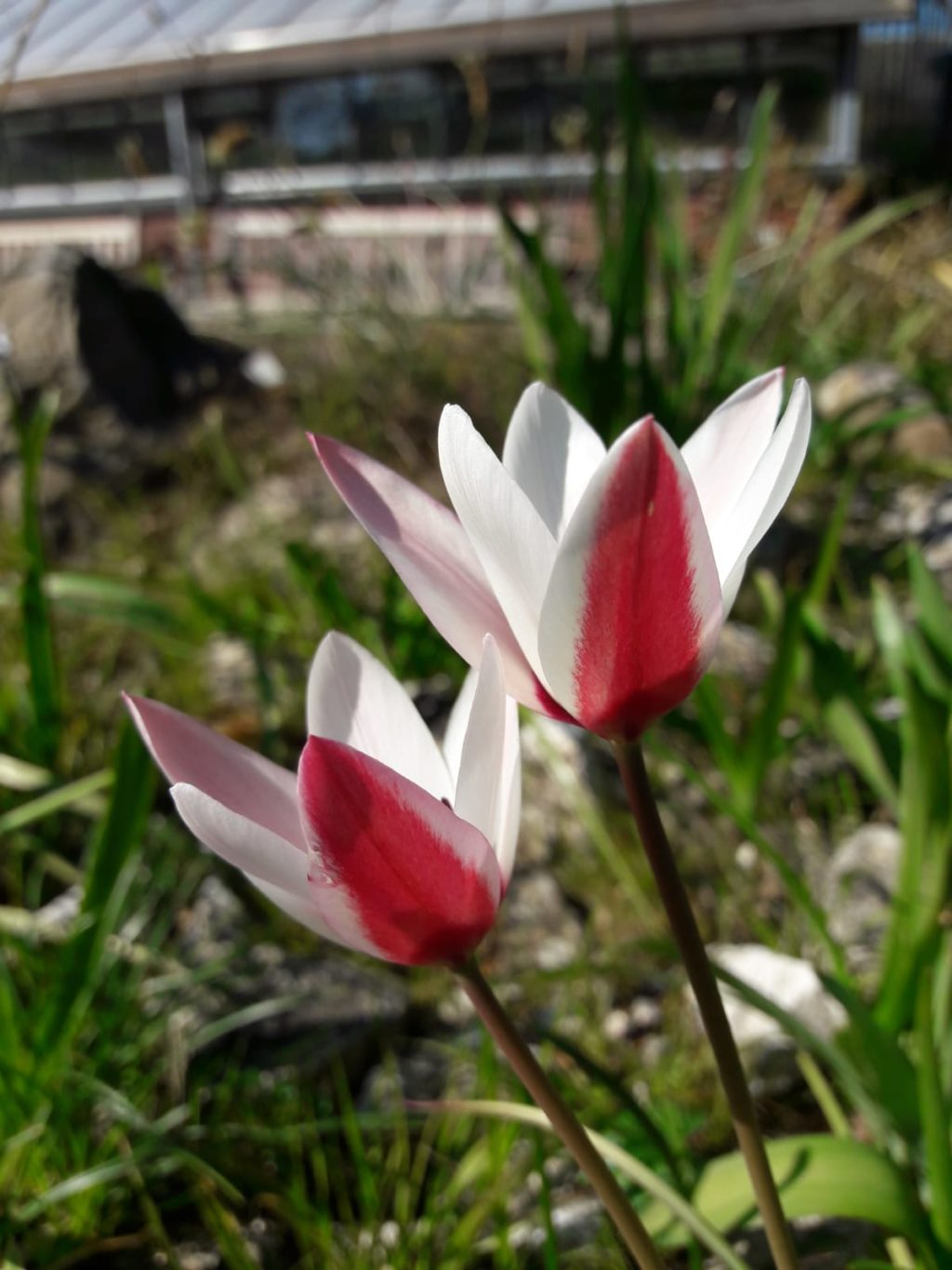 Two tulips in the Hortus